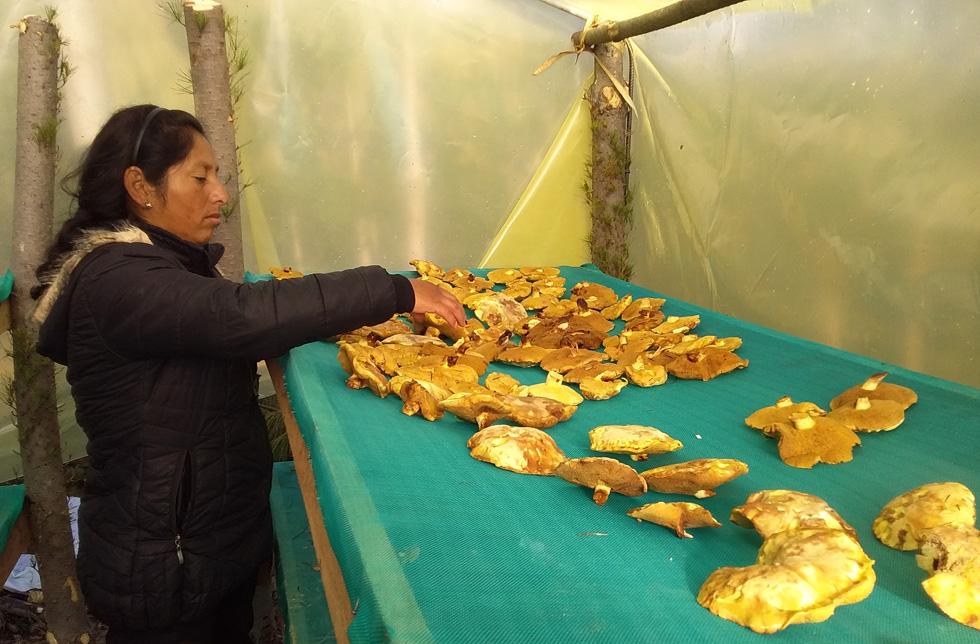 Bolivien: Eine Frau breitet Pilze auf einem Gestell aus.