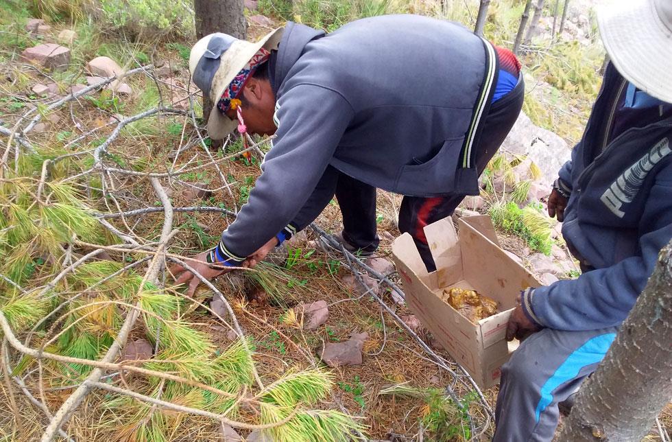 Bolivien: Ein Mann sammelt Pilze.