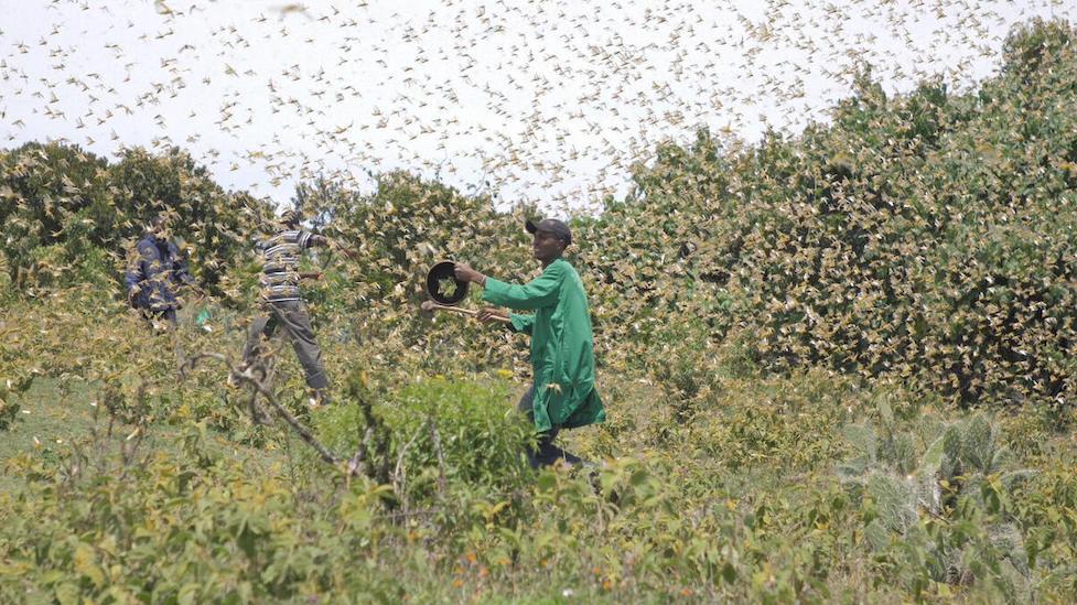 Tausende Heuschrecken in Kenia auf einem Feld mit Bauern.